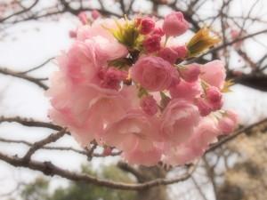 江戸(桜)